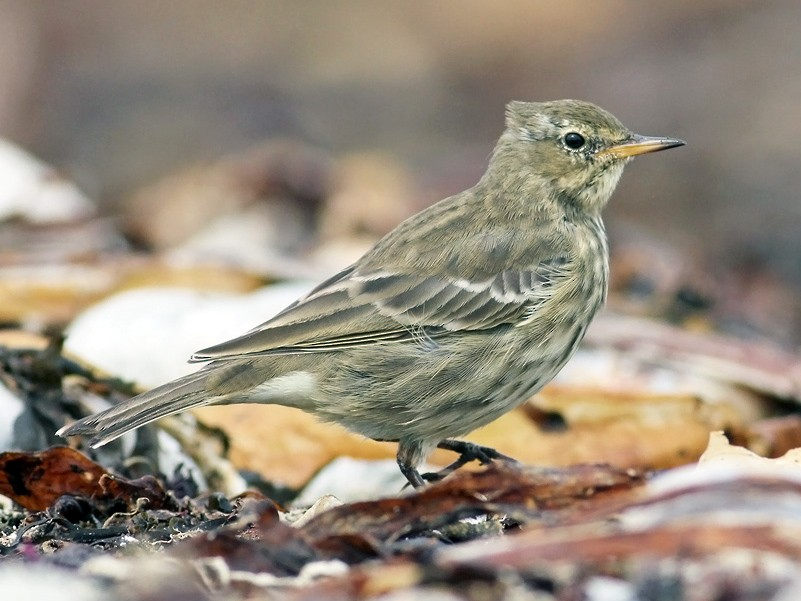 Rock Pipit - Adrien Mauss
