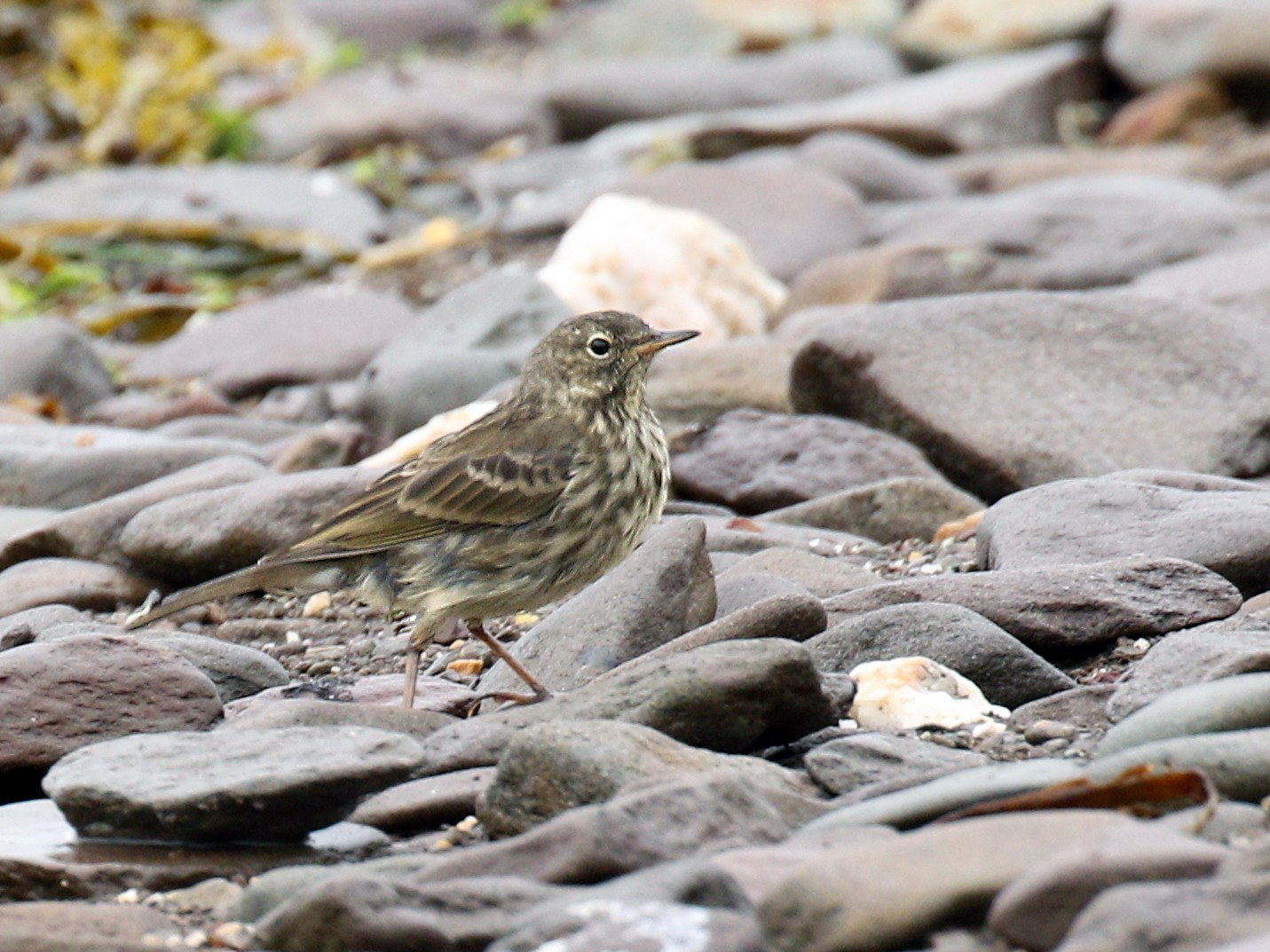 Rock Pipit - Ryan Schain