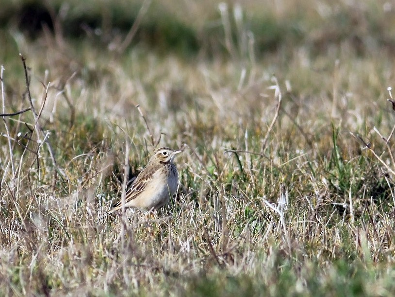 Richard's Pipit - Adrien Mauss