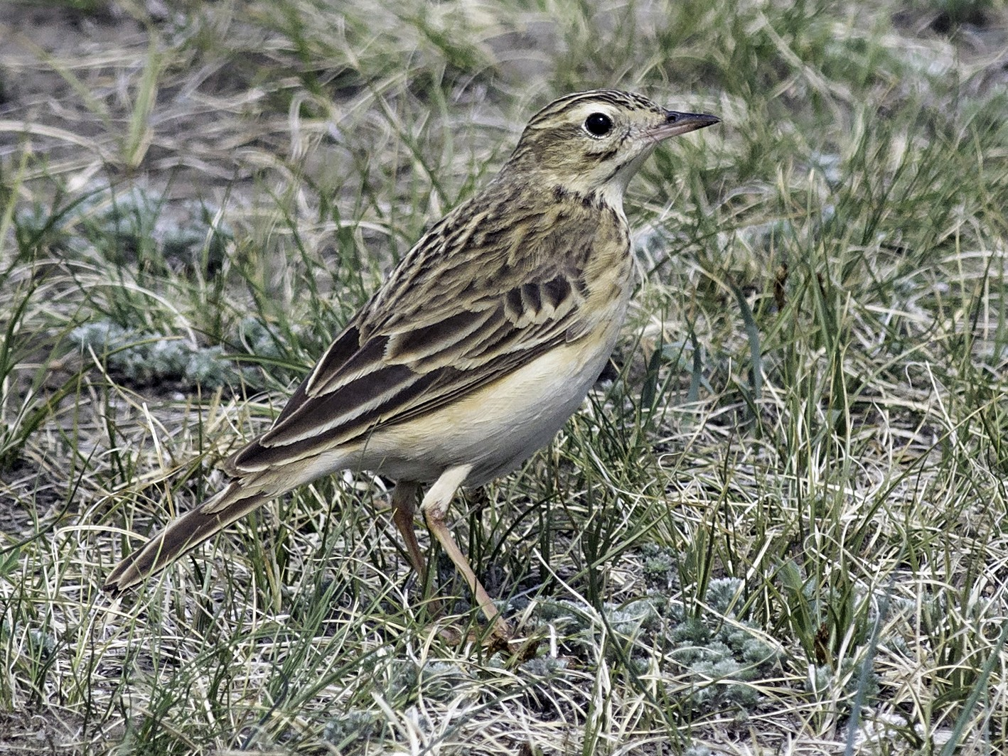 Richard's Pipit - Batmunkh Davaasuren