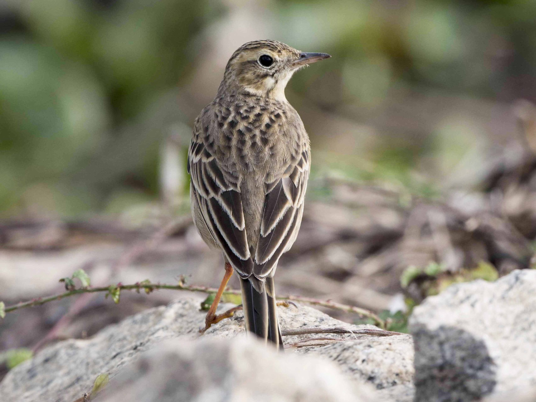 Richard's Pipit - jimmy Yao