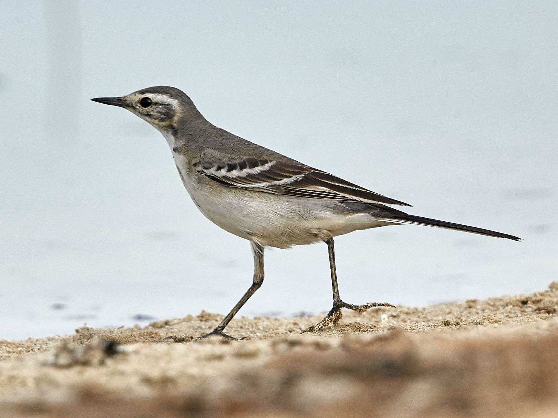 Citrine Wagtail - Howard Heaton