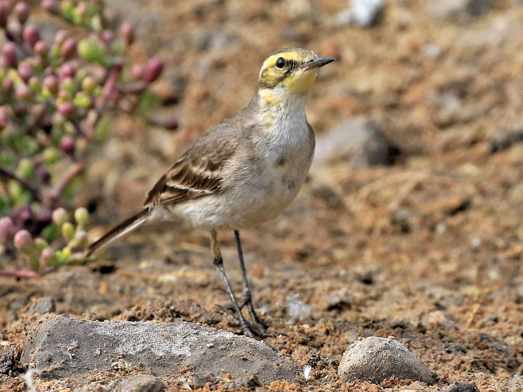 Citrine Wagtail - Patrick MONNEY