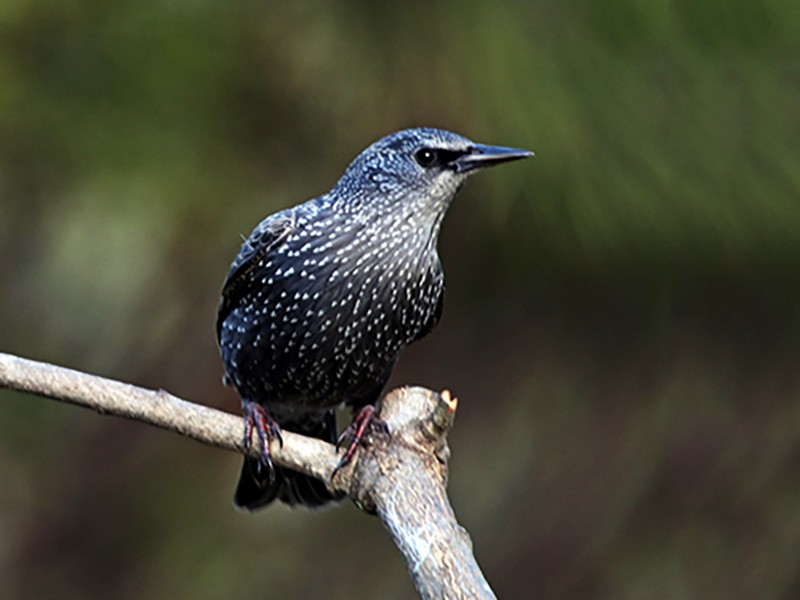 Spotless Starling - Francisco Barroqueiro