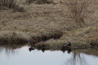 Blue-winged Teal, ML54809751