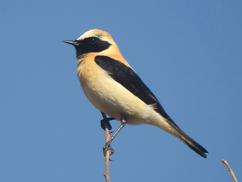 Black-eared Wheatear - Rui Jorge