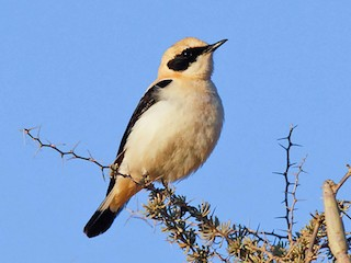 - Black-eared Wheatear (Western)
