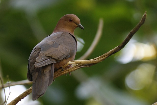 Short-billed Pigeon
