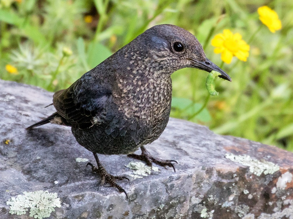 Blue Rock-Thrush - Suzanne Labbé
