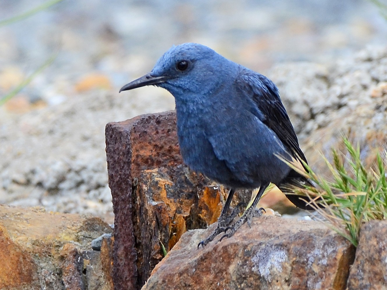 Blue Rock-Thrush - José Frade