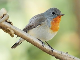 - Red-breasted Flycatcher