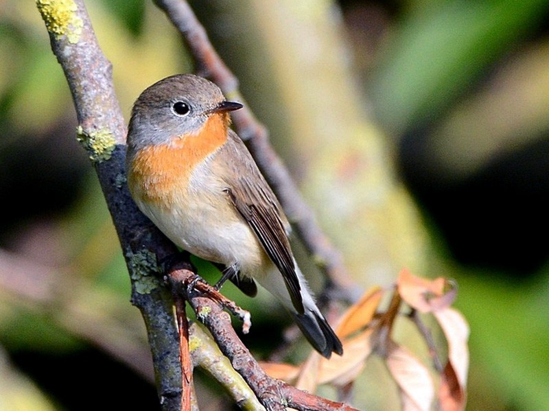 Red-breasted Flycatcher - Marc Roca