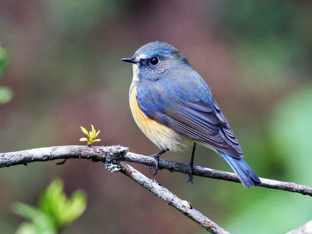 Red-flanked Bluetail - Ting-Wei (廷維) HUNG (洪)