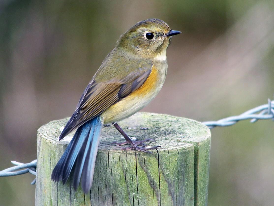 Red-flanked Bluetail - Wayne Gillatt