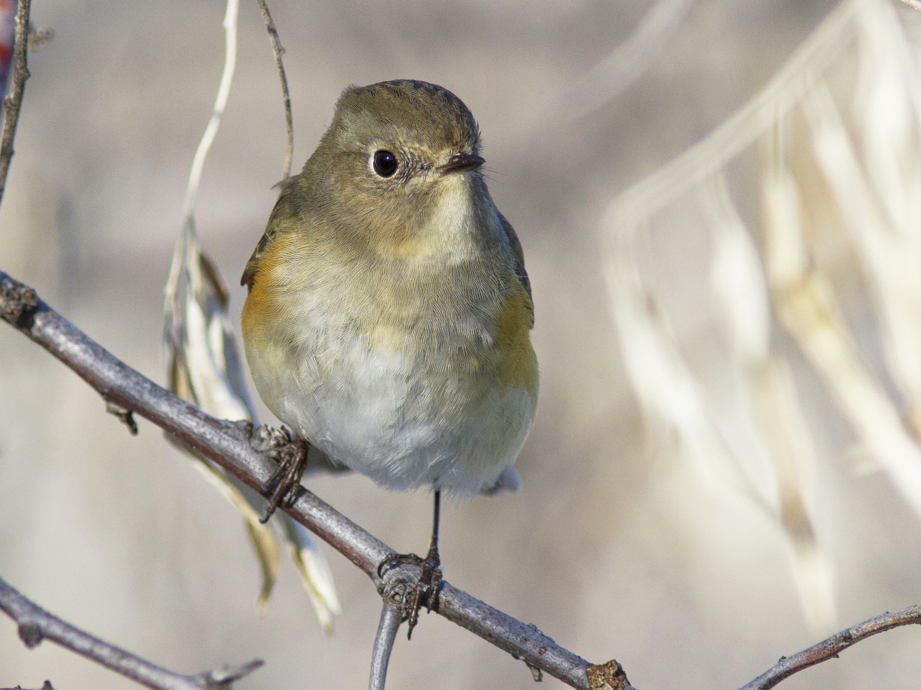 Red-flanked Bluetail - Bryce Robinson