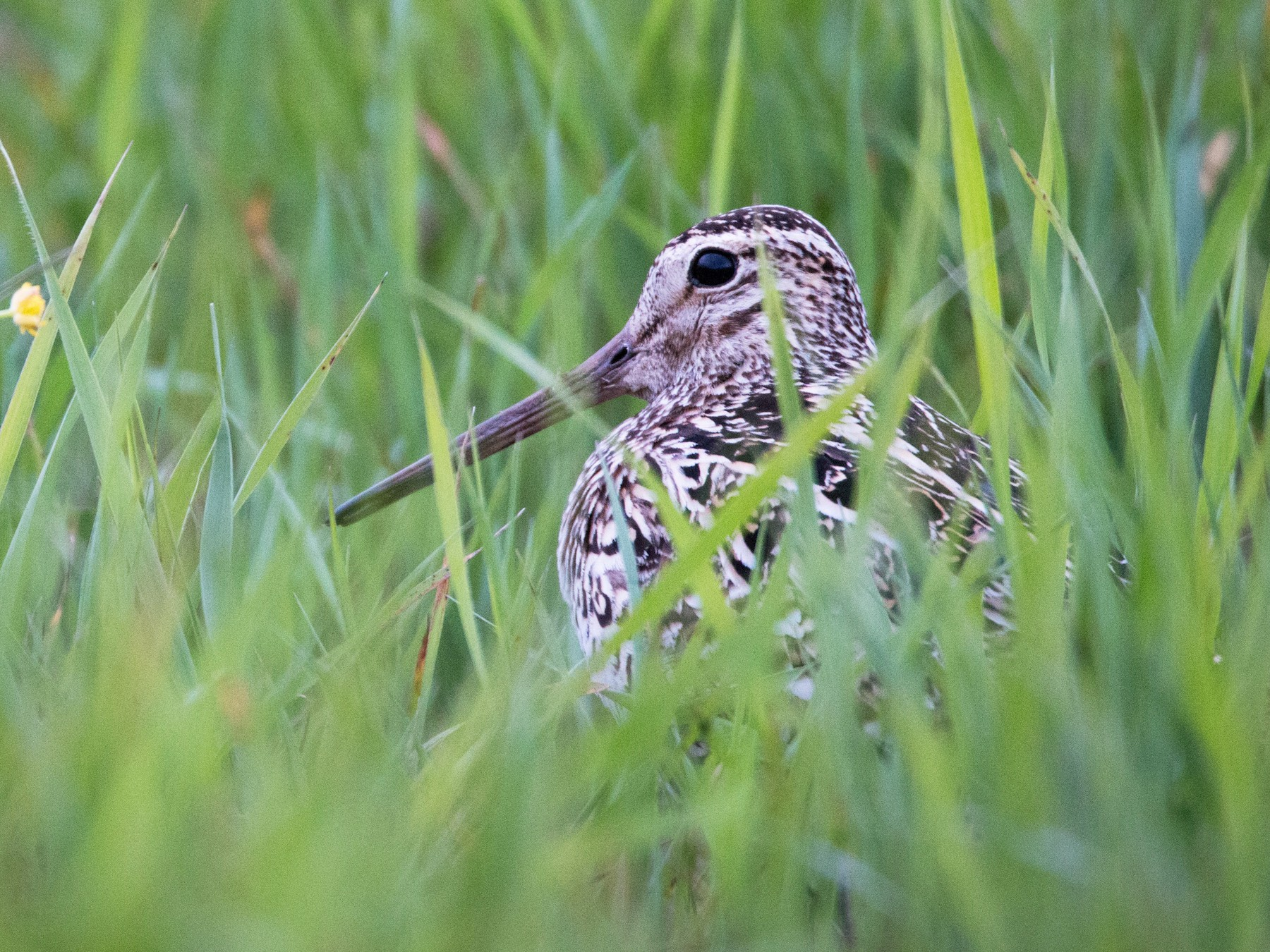 Great Snipe - Ian Davies