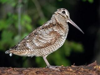 - Eurasian Woodcock