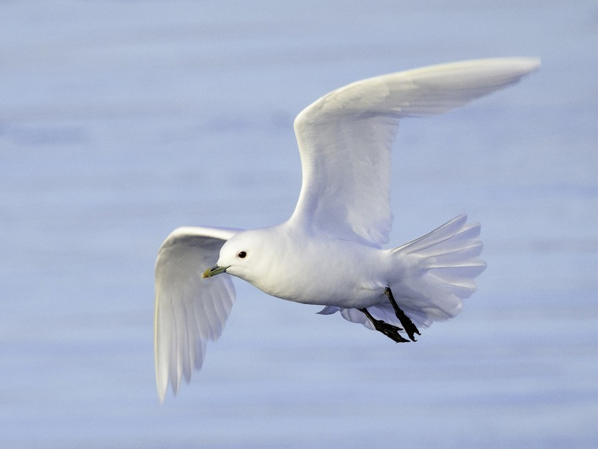 Ivory Gull - Paul Lehman