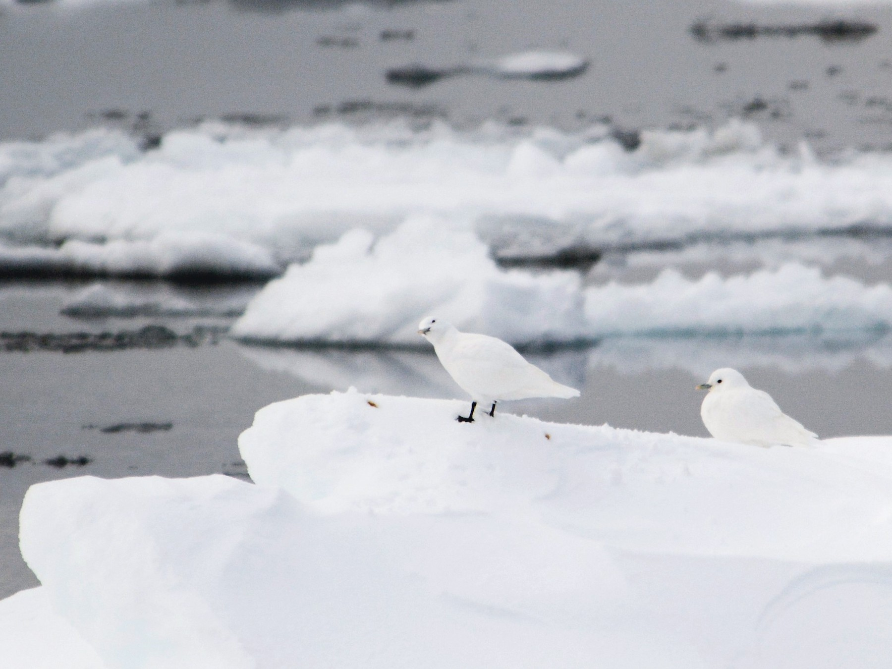Ivory Gull - William Stein III MD PhD