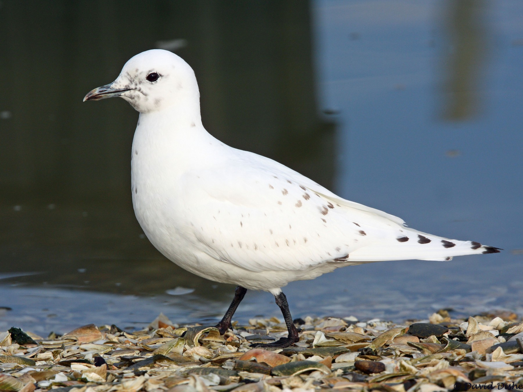 Ivory Gull - David Disher