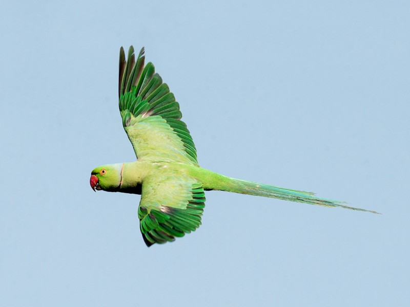 Rose-ringed Parakeet - David Irving