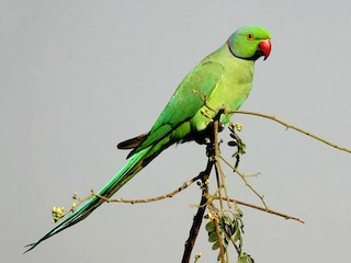- Rose-ringed Parakeet
