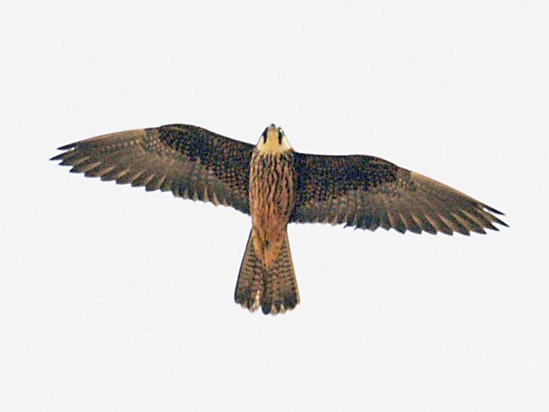 Eleonora's Falcon - Etienne Artigau