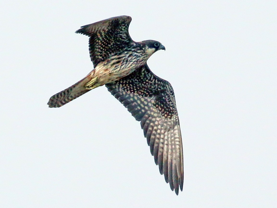 Eleonora's Falcon - Tommy Pedersen