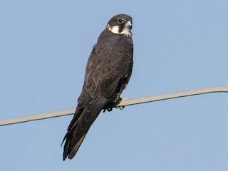 - Eleonora's Falcon