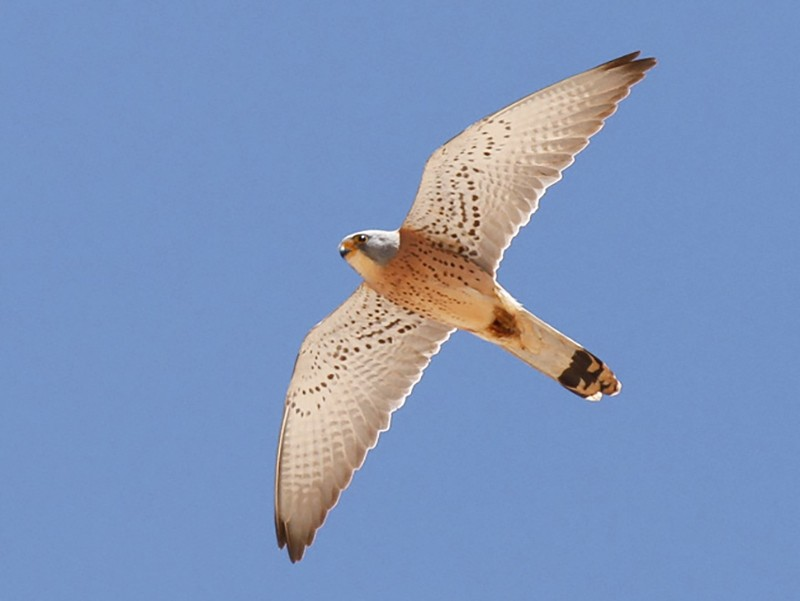 Lesser Kestrel - James Kennerley 🦄