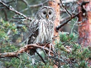 - Ural Owl