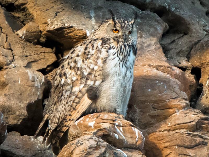 Eurasian Eagle-Owl - Saurabh Sawant