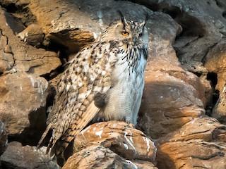 - Eurasian Eagle-Owl
