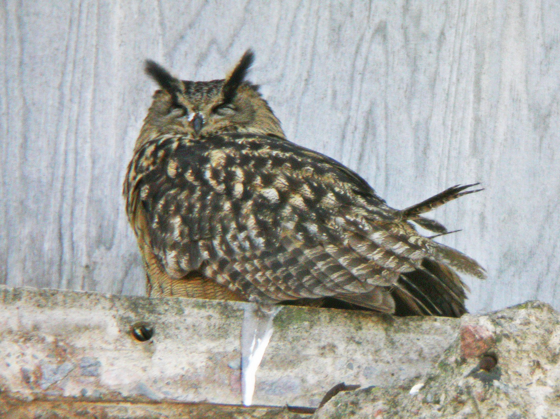 Eurasian Eagle-Owl - Ray Scally
