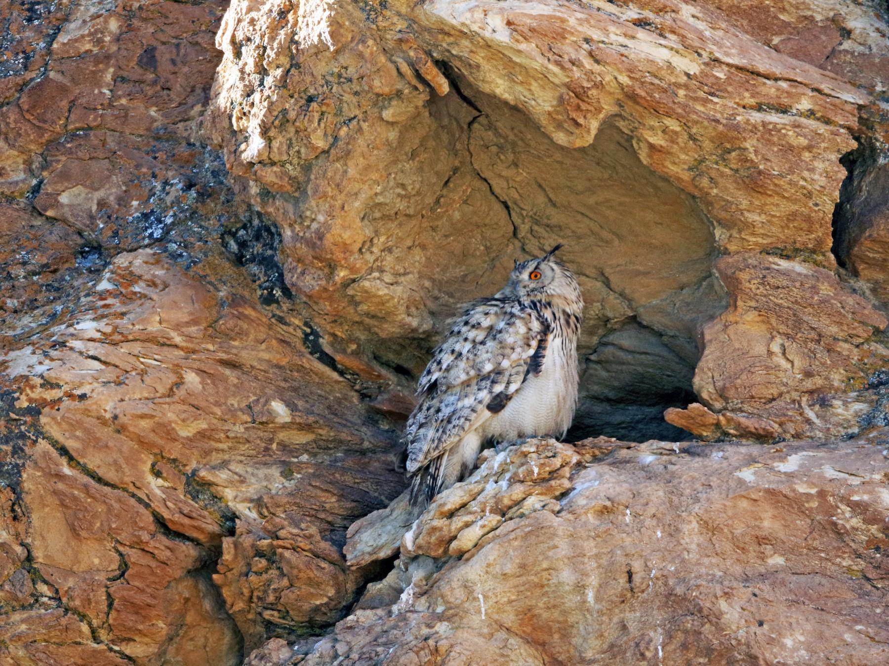 Eurasian Eagle-Owl - Esha Munshi