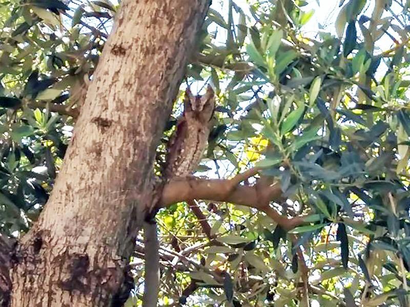 Eurasian Scops-Owl - FÜZUN KARACAN