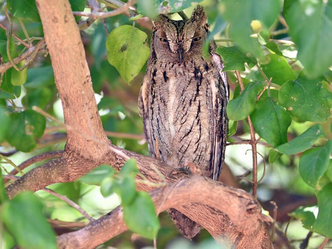 Eurasian Scops-Owl - viral joshi