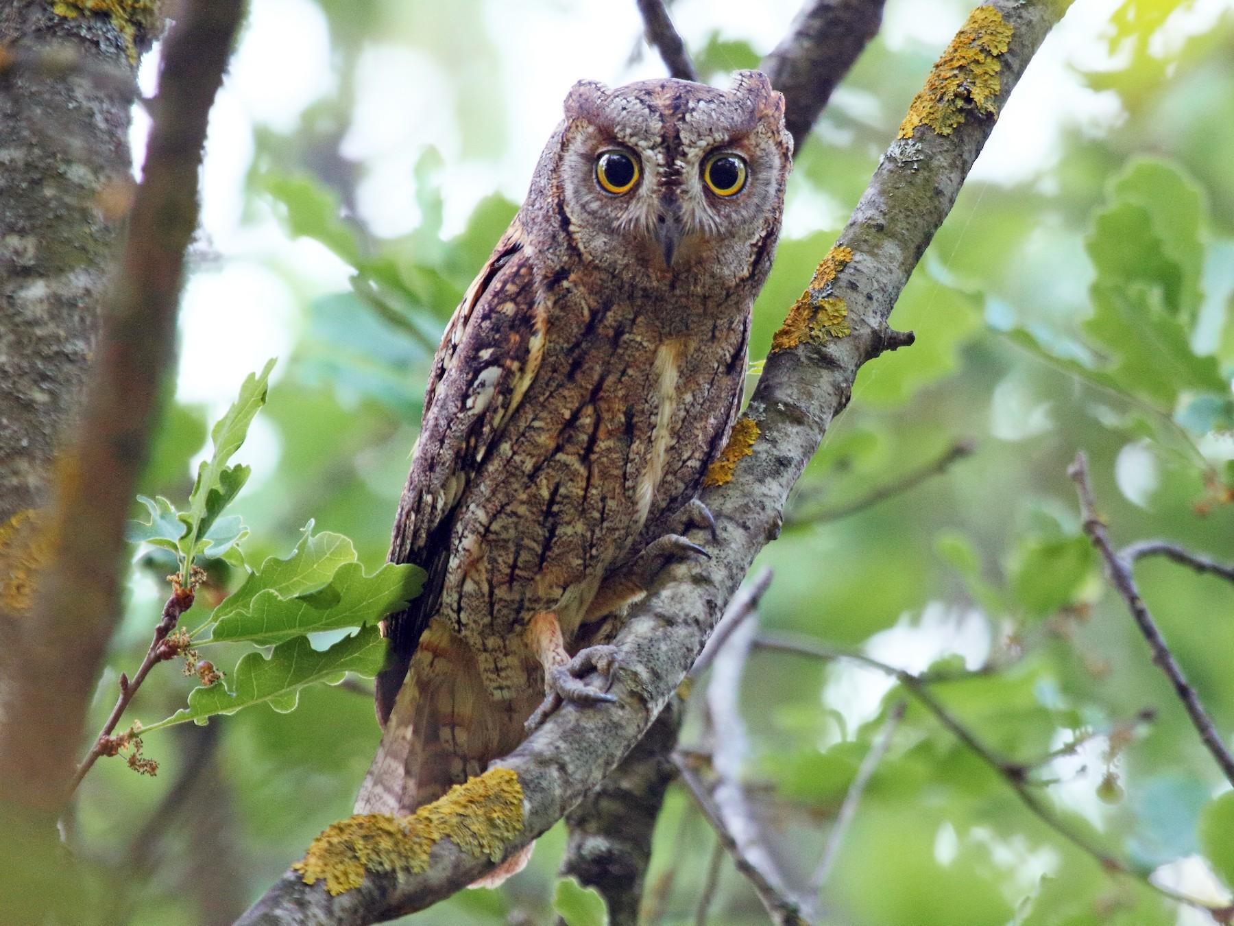 Eurasian Scops-Owl - Patrick J. Blake