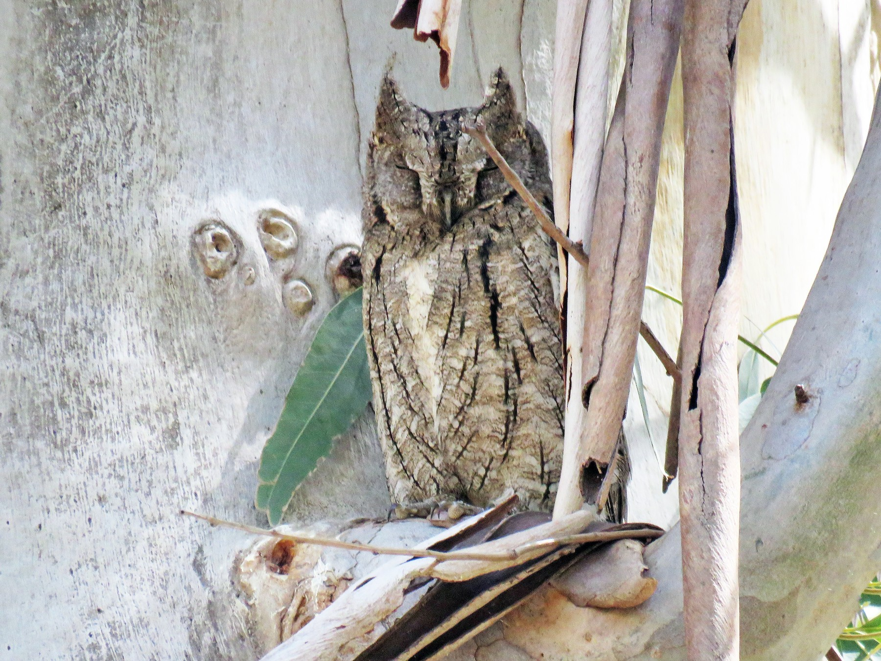 Eurasian Scops-Owl - Paul Wolter