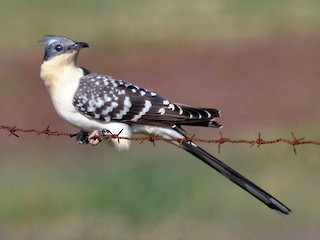 - Great Spotted Cuckoo