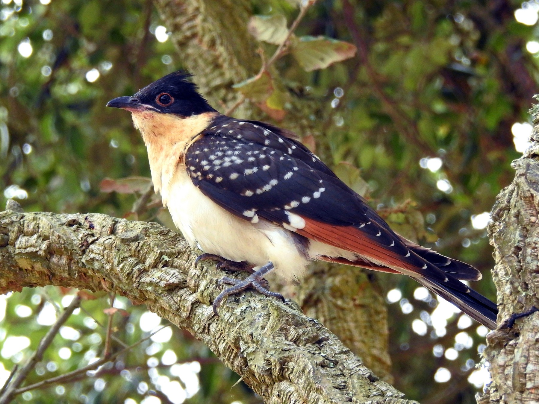 Great Spotted Cuckoo - Rui Jorge