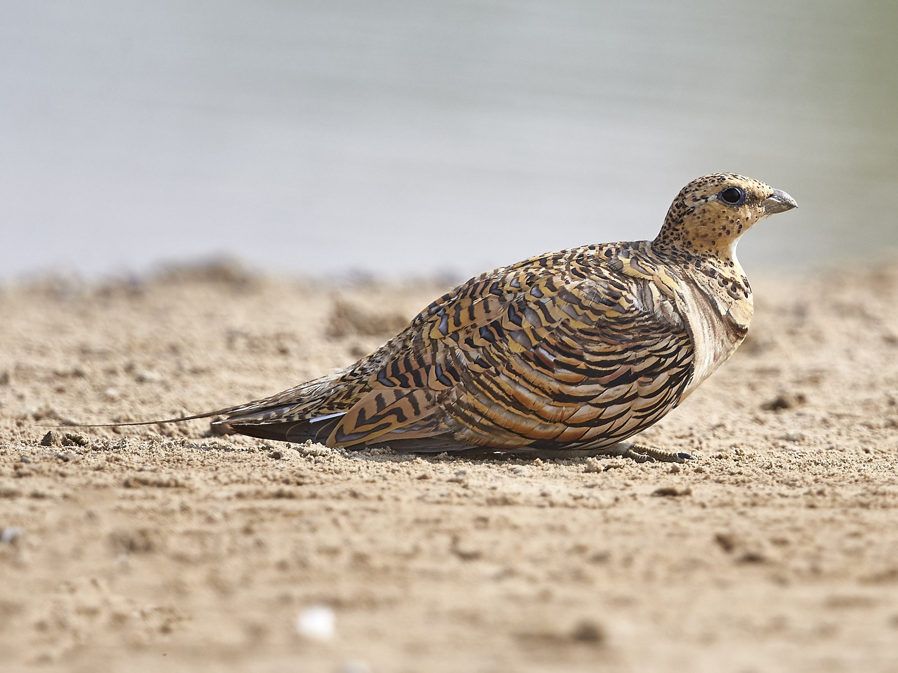 Pin-tailed Sandgrouse - Howard Heaton