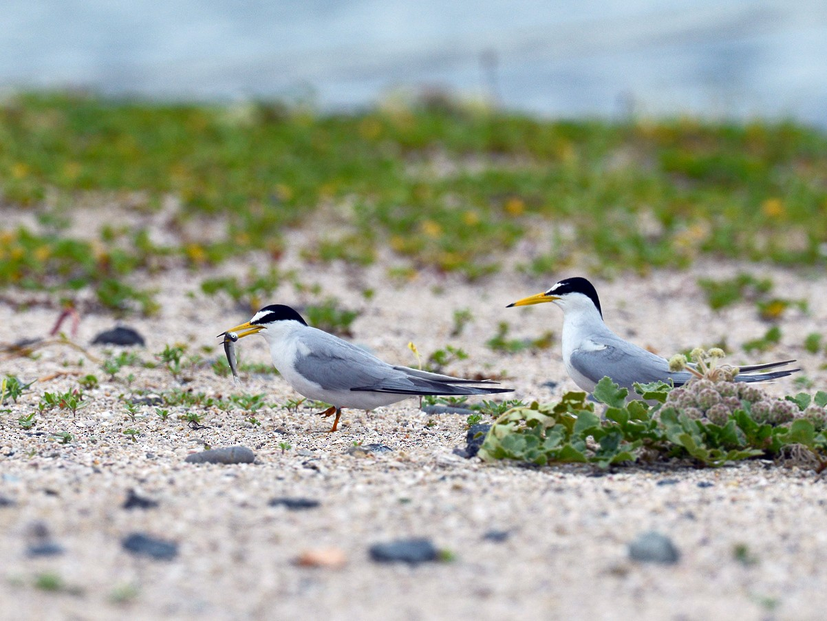 Little Tern - Henrik Thorlund