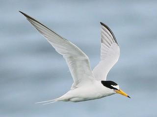- Little Tern