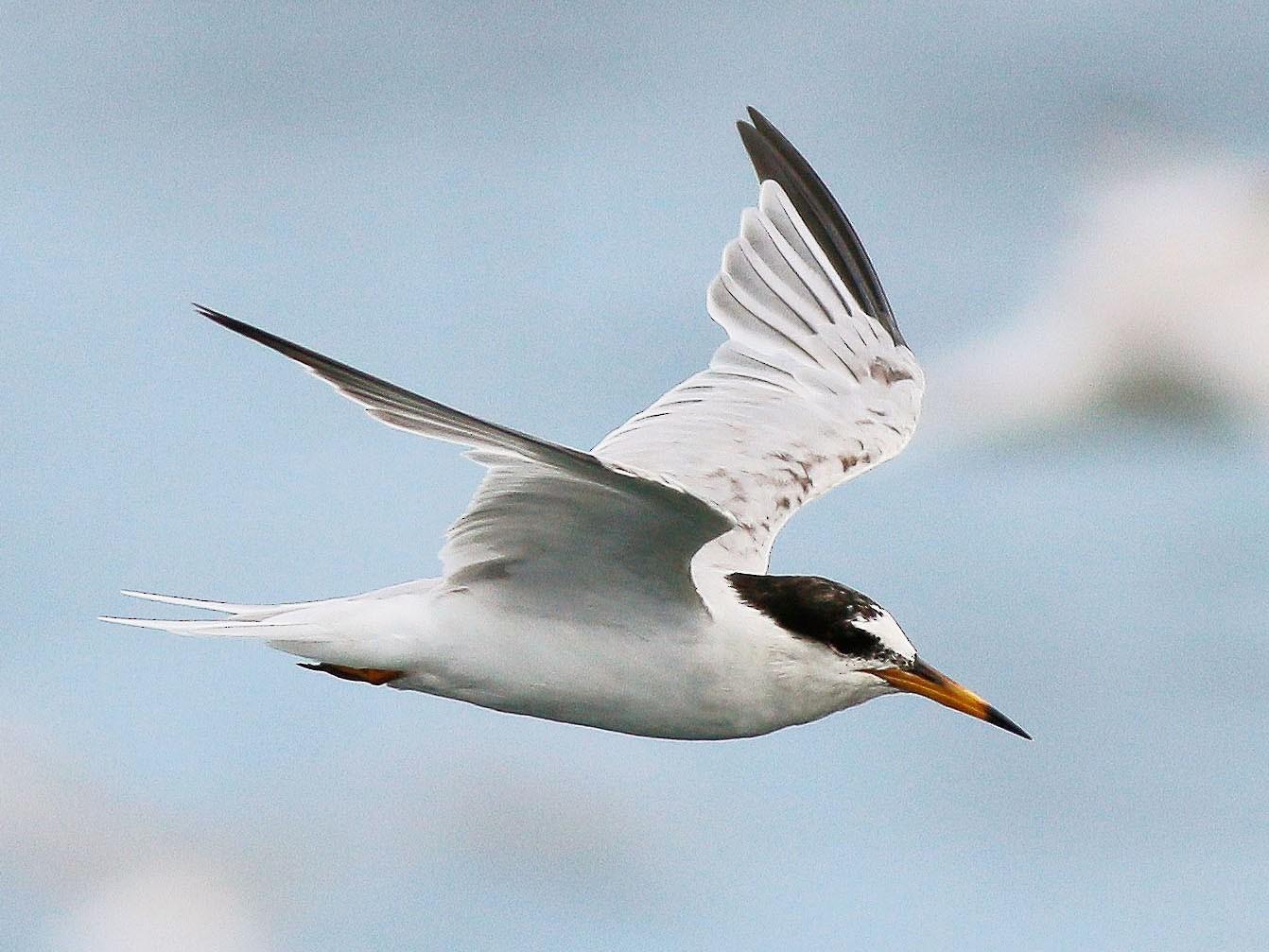 Little Tern - Neoh Hor Kee