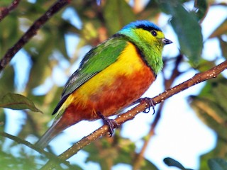 - Chestnut-breasted Chlorophonia