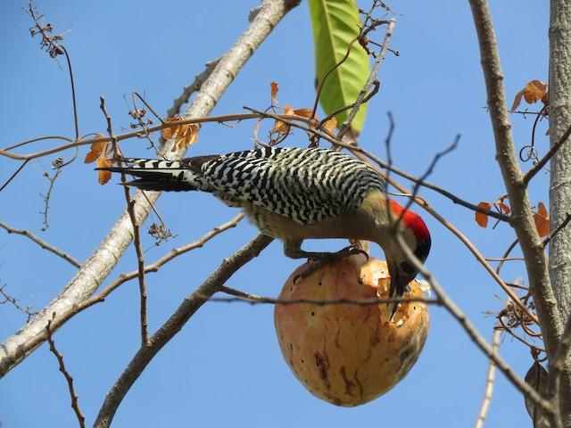 Foraging at large fruit.