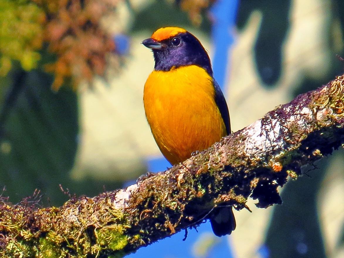 Orange-bellied Euphonia - Jorge Muñoz García   CAQUETA BIRDING
