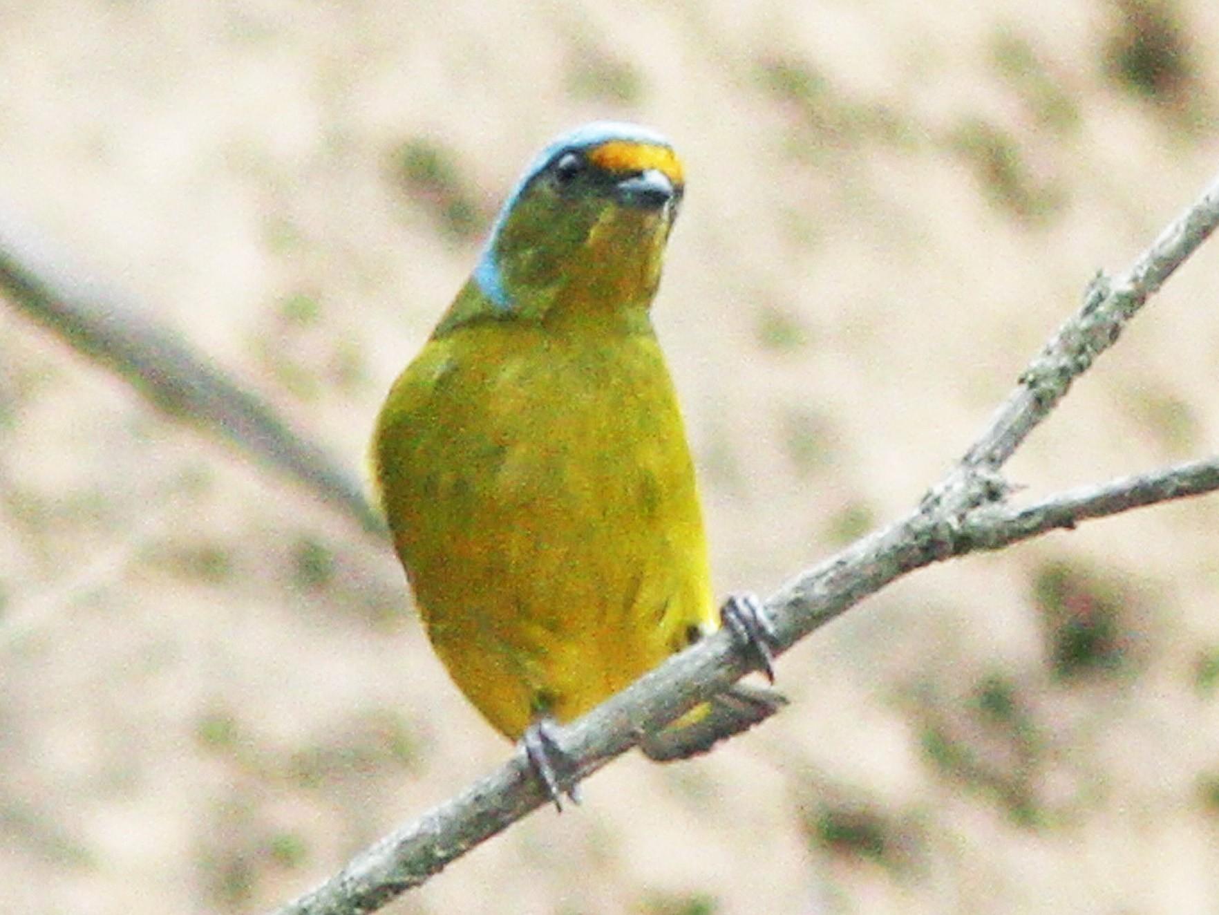 Golden-rumped Euphonia - Larry Therrien