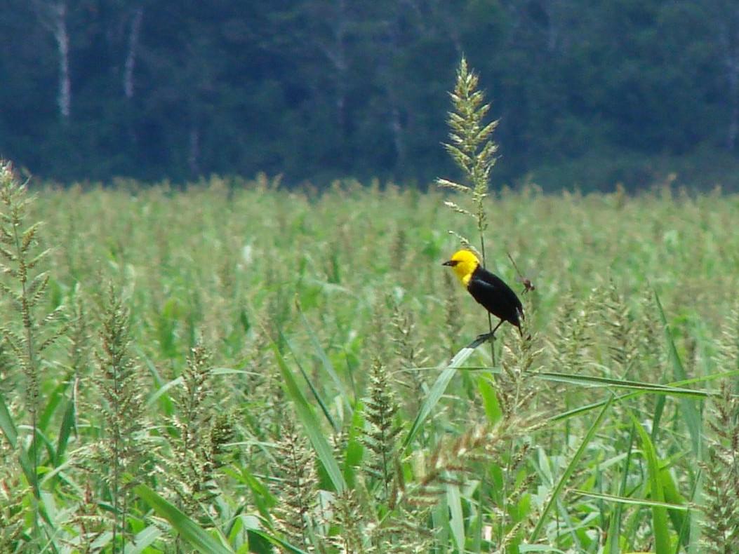 Yellow-hooded Blackbird - Pedro Beja